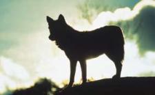 Lobo (foto de José Luis Rodríguez)